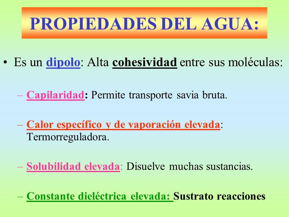 PROPIEDADES DEL AGUA: Es un dipolo: Alta cohesividad entre sus moléculas: Capilaridad: Permite transporte savia bruta.