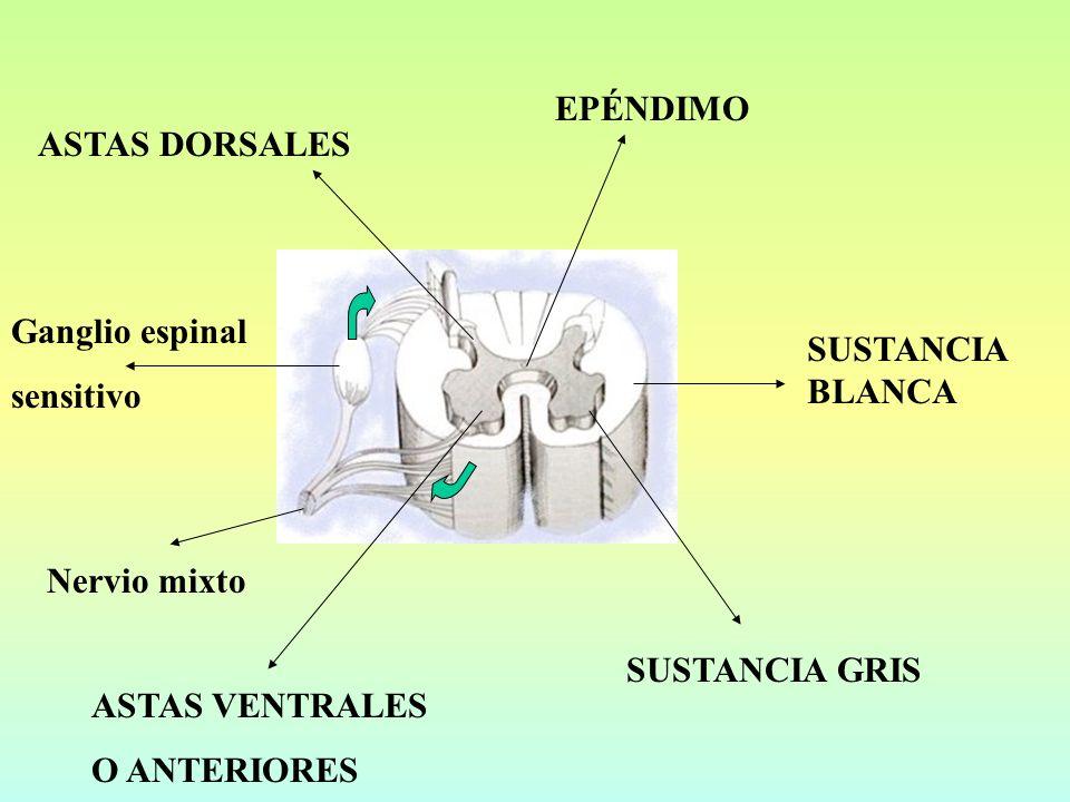 EPÉNDIMO ASTAS DORSALES. Ganglio espinal. sensitivo. SUSTANCIA BLANCA. Nervio mixto. SUSTANCIA GRIS.