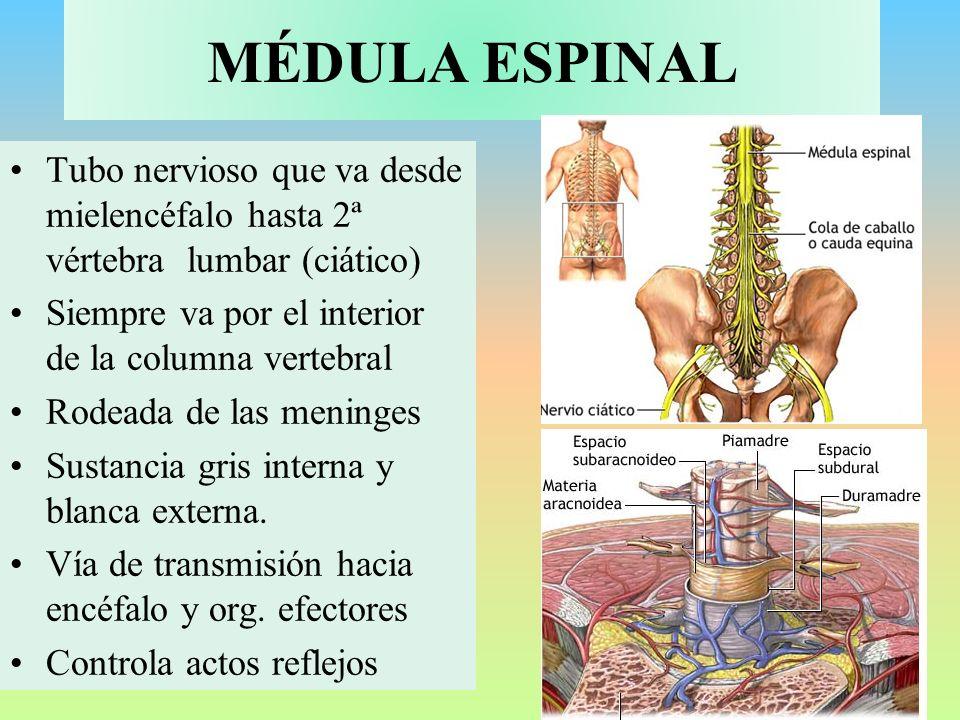 MÉDULA ESPINAL Tubo nervioso que va desde mielencéfalo hasta 2ª vértebra lumbar (ciático) Siempre va por el interior de la columna vertebral.