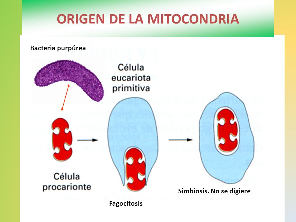 ORIGEN DE LA MITOCONDRIA