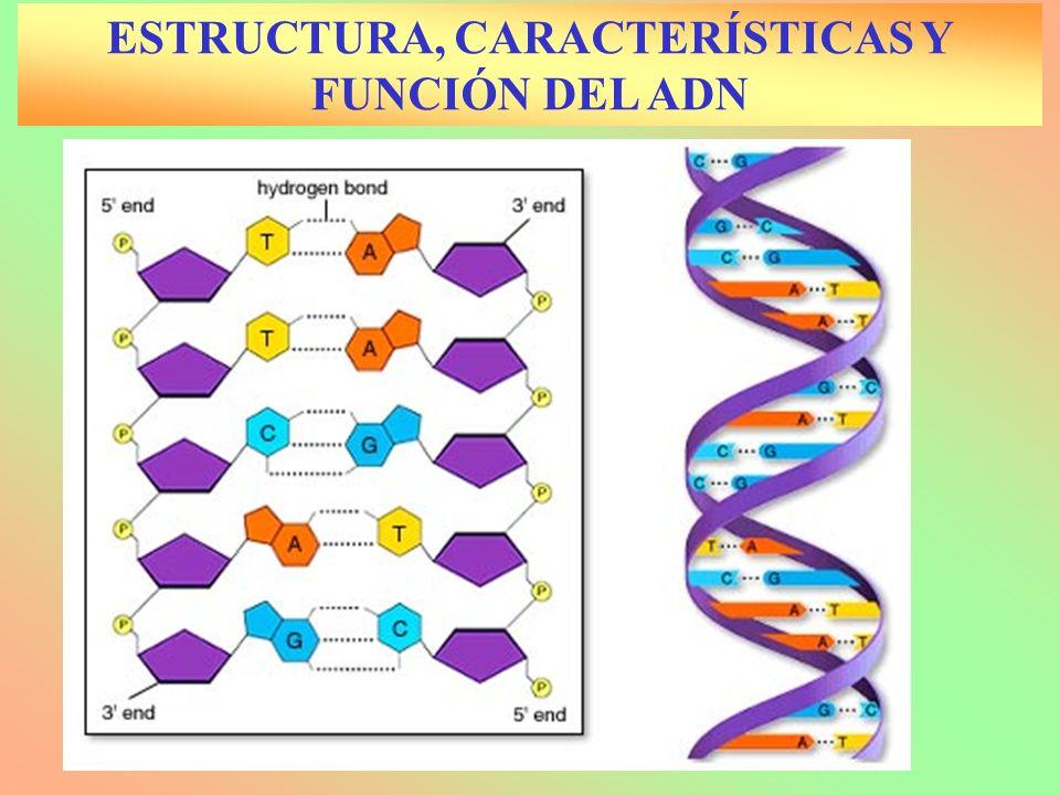 ESTRUCTURA, CARACTERÍSTICAS Y FUNCIÓN DEL ADN