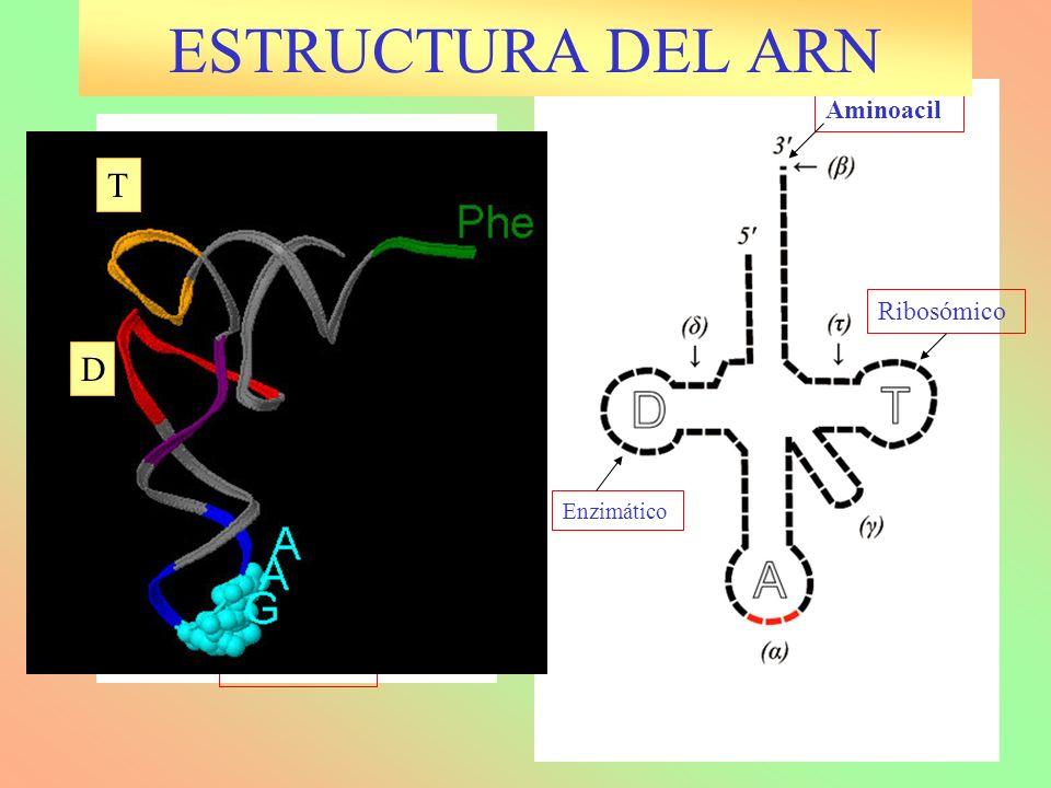 ESTRUCTURA DEL ARN T D Anticodón Aminoacil Ribosómico Variable