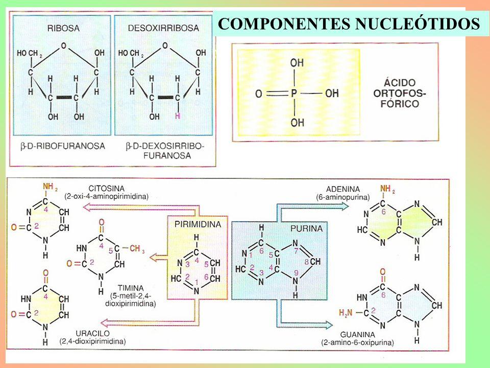 COMPONENTES NUCLEÓTIDOS