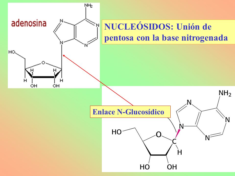 NUCLEÓSIDOS: Unión de pentosa con la base nitrogenada