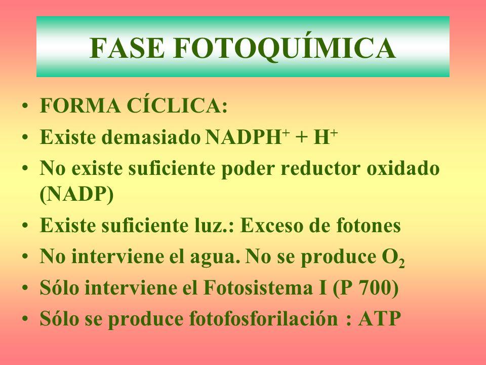 FASE FOTOQUÍMICA FORMA CÍCLICA: Existe demasiado NADPH+ + H+