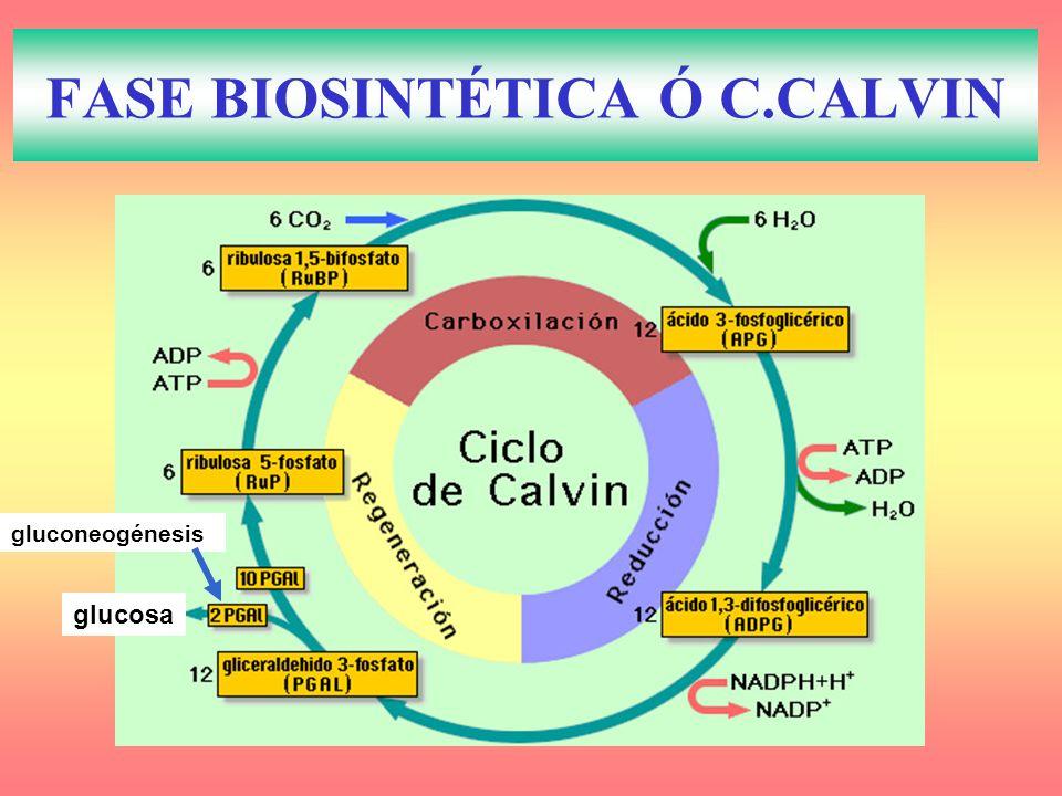 FASE BIOSINTÉTICA Ó C.CALVIN