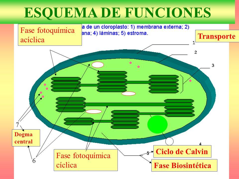 ESQUEMA DE FUNCIONES Fase fotoquímica acíclica Transporte