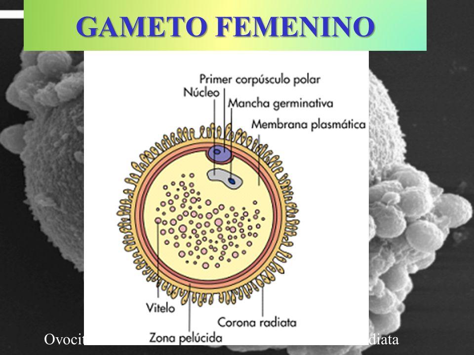 GAMETO FEMENINO Ovocito humano rodeado de células de la corona radiata