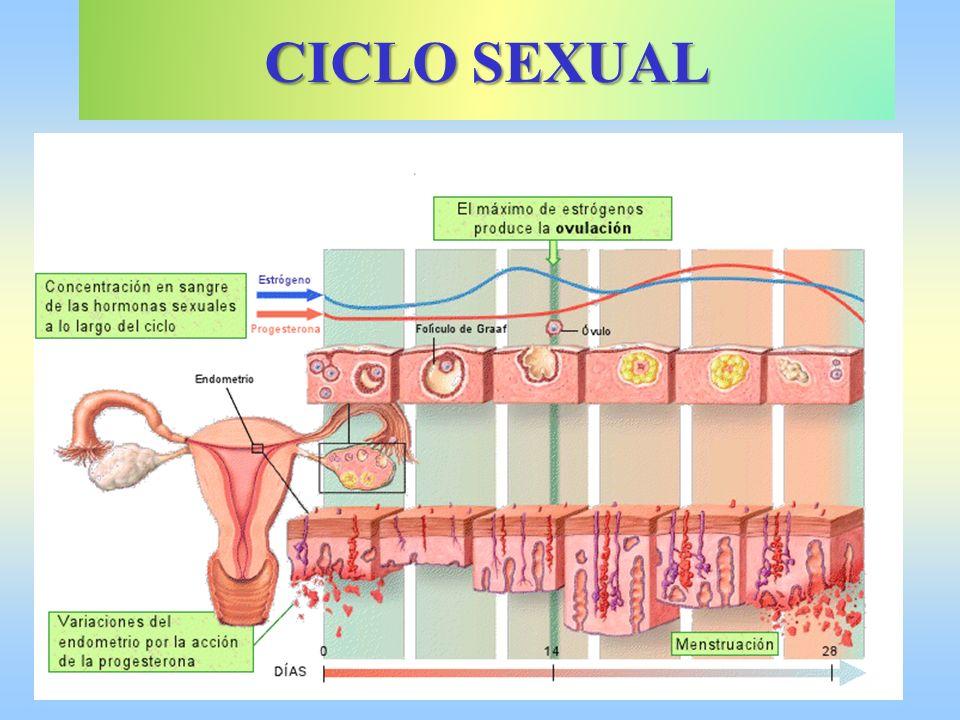 CICLO SEXUAL