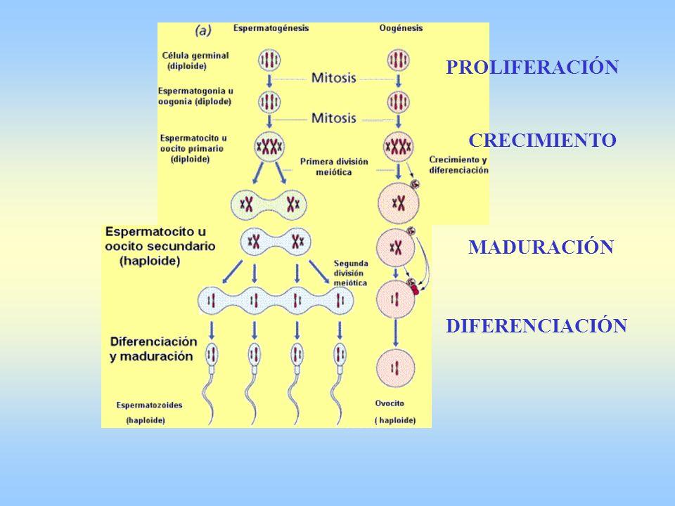 PROLIFERACIÓN CRECIMIENTO MADURACIÓN DIFERENCIACIÓN 7