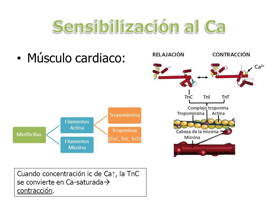 Sensibilización al Ca Músculo cardiaco: