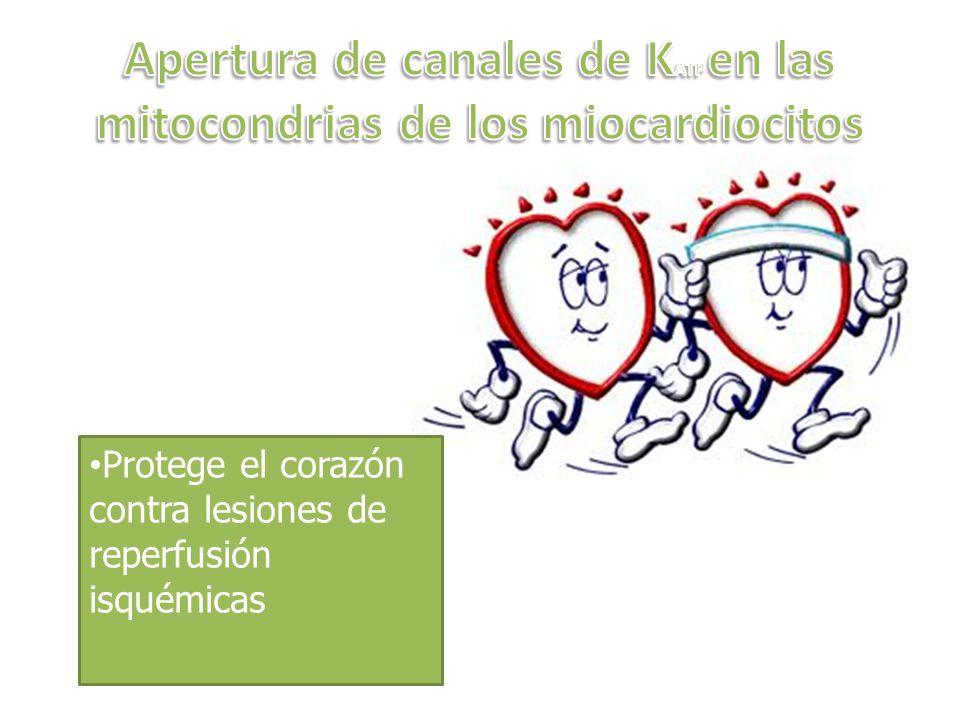 Apertura de canales de KATP en las mitocondrias de los miocardiocitos