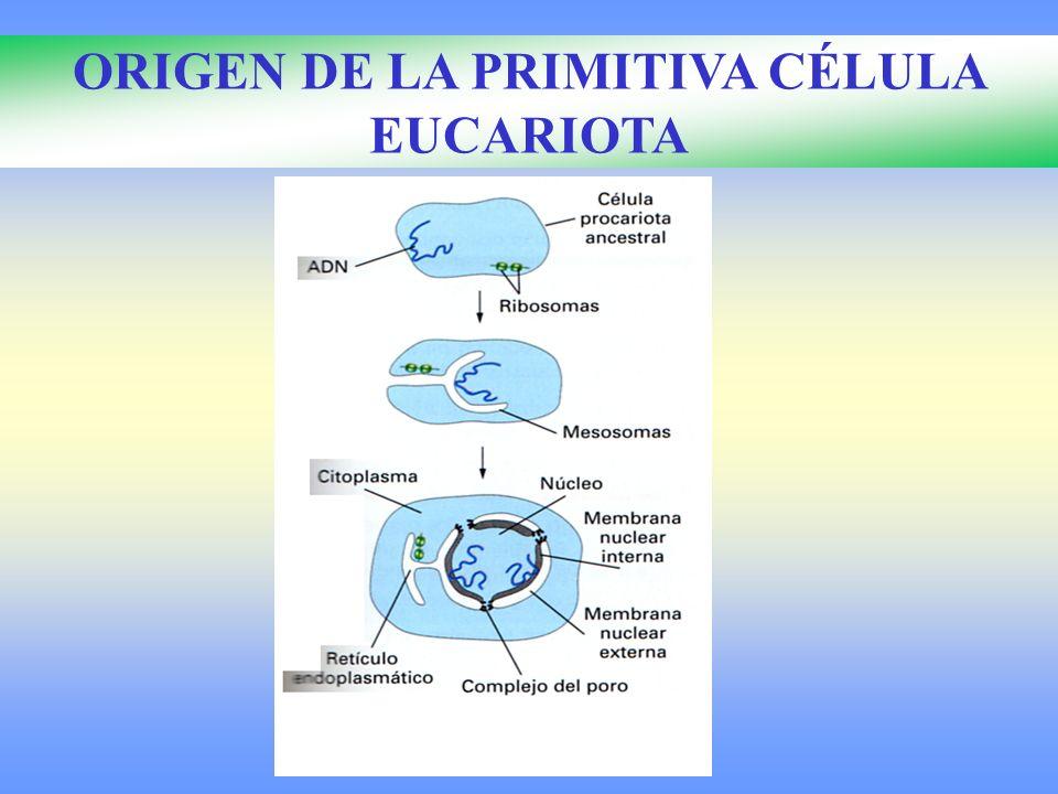 ORIGEN DE LA PRIMITIVA CÉLULA EUCARIOTA