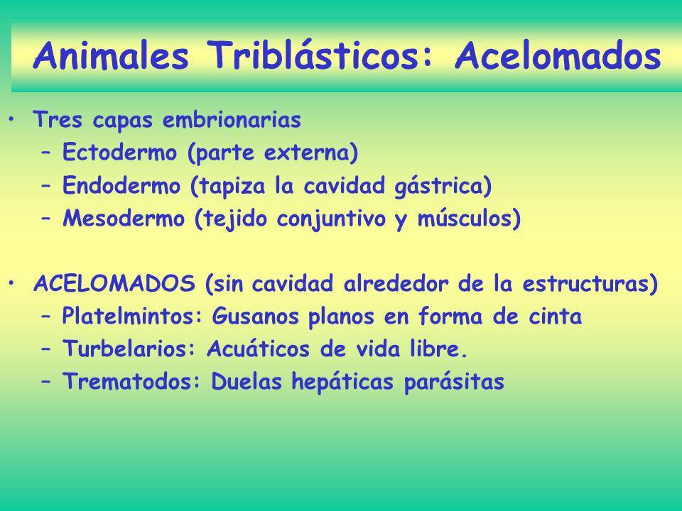 Animales Triblásticos: Acelomados