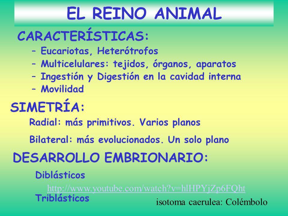 EL REINO ANIMAL CARACTERÍSTICAS: SIMETRÍA: DESARROLLO EMBRIONARIO: