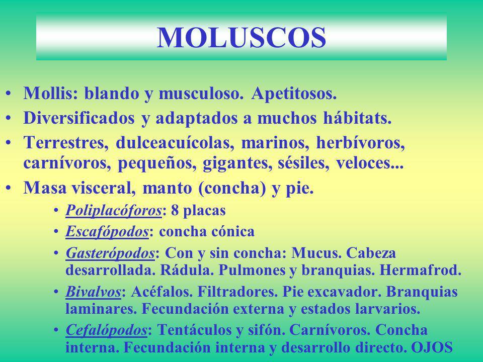 MOLUSCOS Mollis: blando y musculoso. Apetitosos.