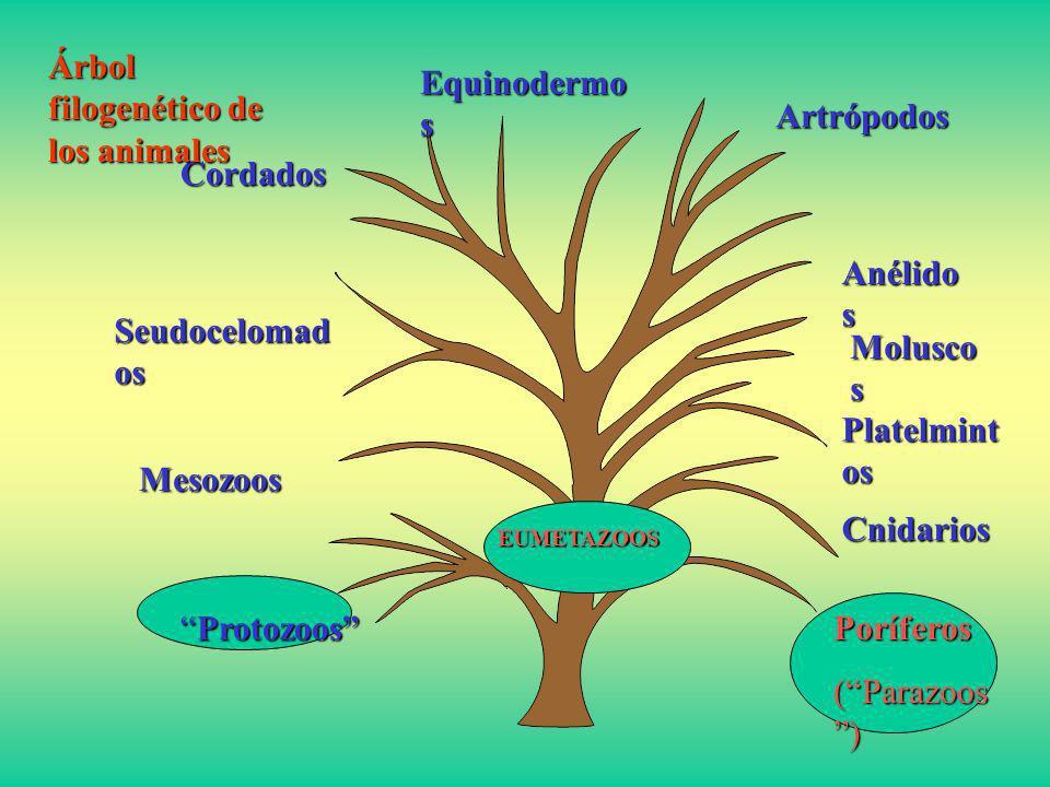 Árbol filogenético de los animales Equinodermos Artrópodos
