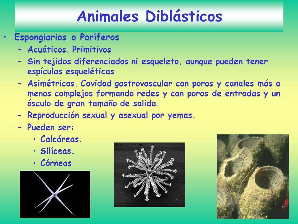 Animales Diblásticos Espongiarios o Poríferos Acuáticos. Primitivos