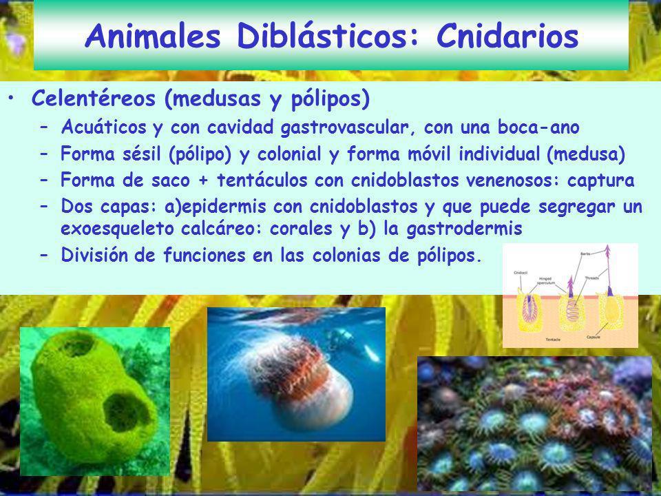 Animales Diblásticos: Cnidarios
