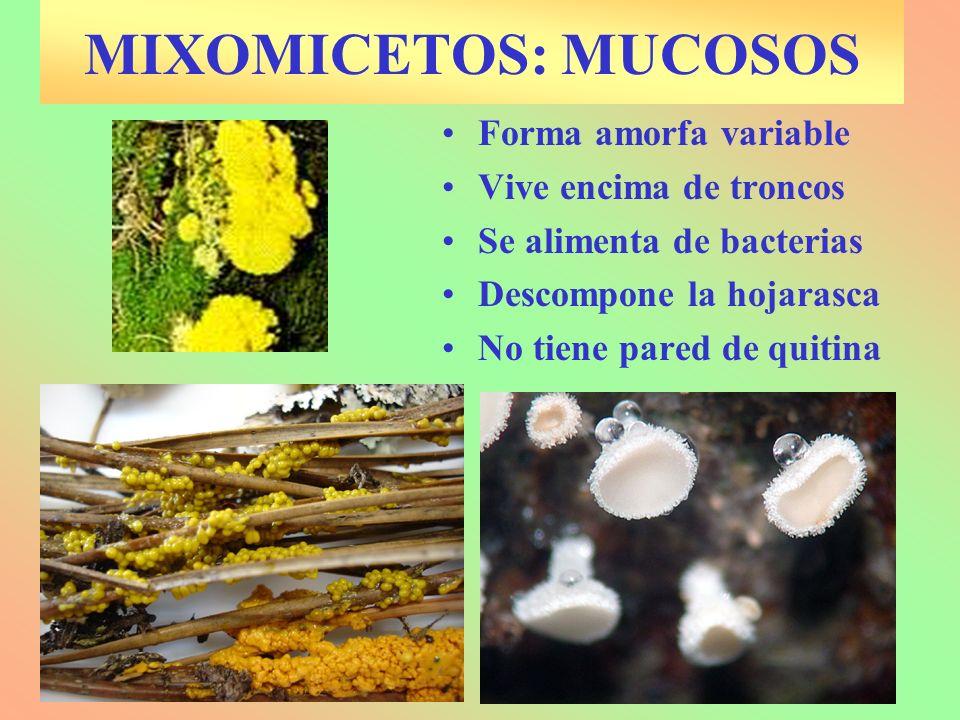 MIXOMICETOS: MUCOSOS Forma amorfa variable Vive encima de troncos