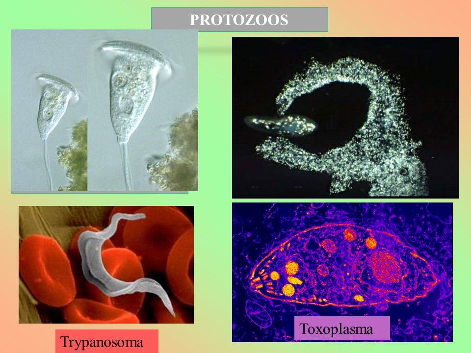 PROTOZOOS EUGLENA Toxoplasma Trypanosoma