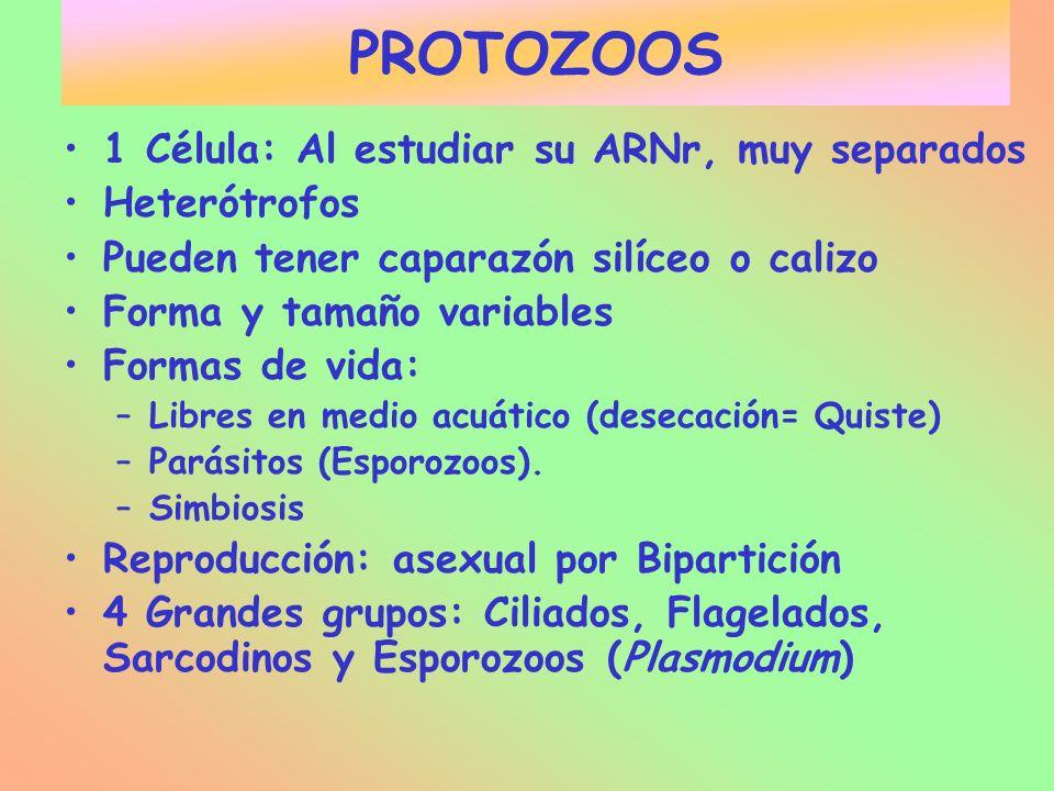 PROTOZOOS 1 Célula: Al estudiar su ARNr, muy separados Heterótrofos