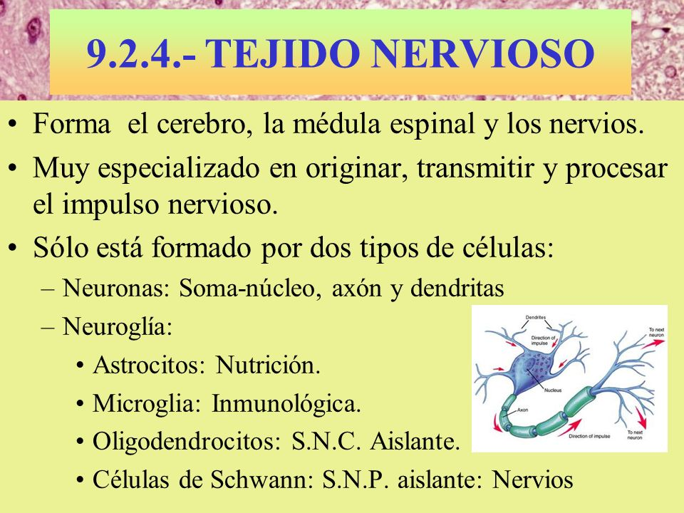 9.2.4.- TEJIDO NERVIOSOForma el cerebro, la médula espinal y los nervios. Muy especializado en originar, transmitir y procesar el impulso nervioso.