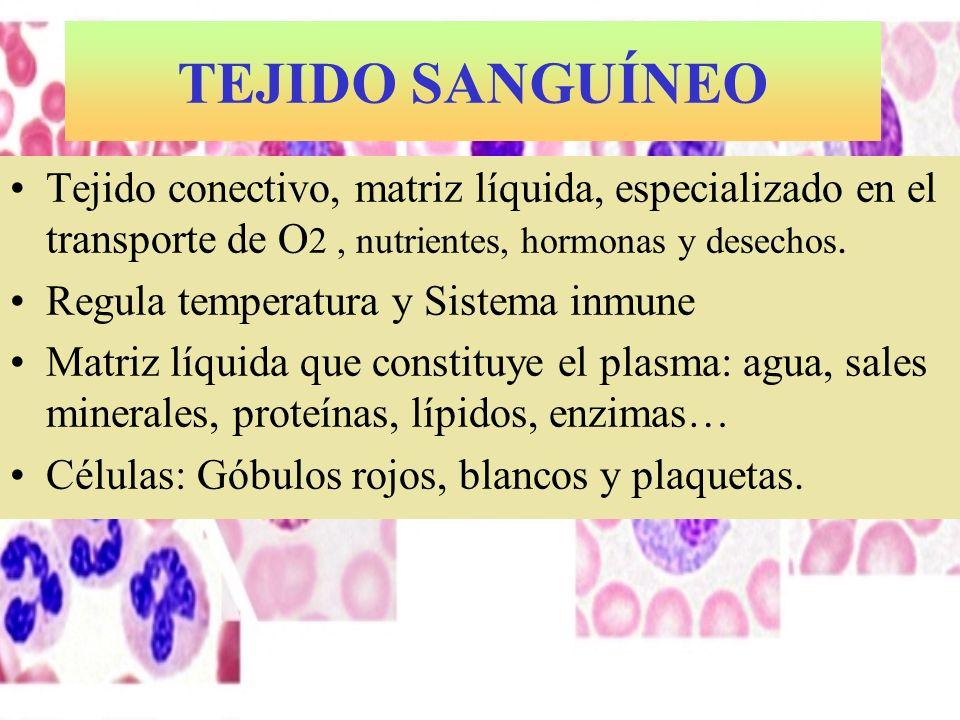 TEJIDO SANGUÍNEO Tejido conectivo, matriz líquida, especializado en el transporte de O2 , nutrientes, hormonas y desechos.