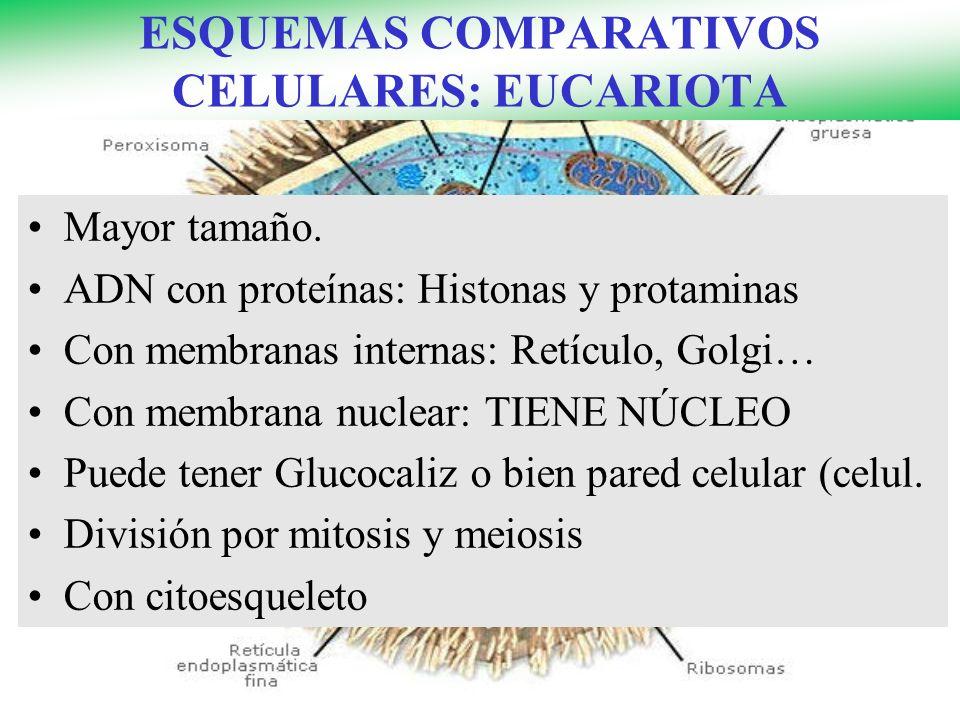 ESQUEMAS COMPARATIVOS CELULARES: EUCARIOTA