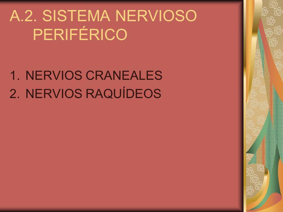 A.2. SISTEMA NERVIOSO PERIFÉRICO