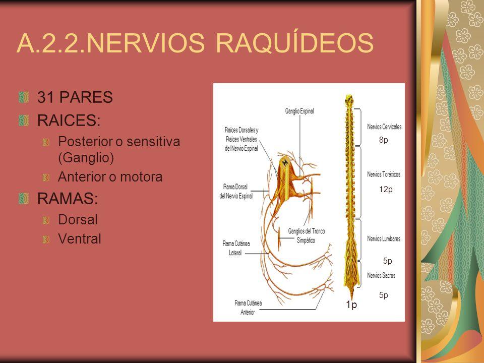 A.2.2.NERVIOS RAQUÍDEOS 31 PARES RAICES: RAMAS: