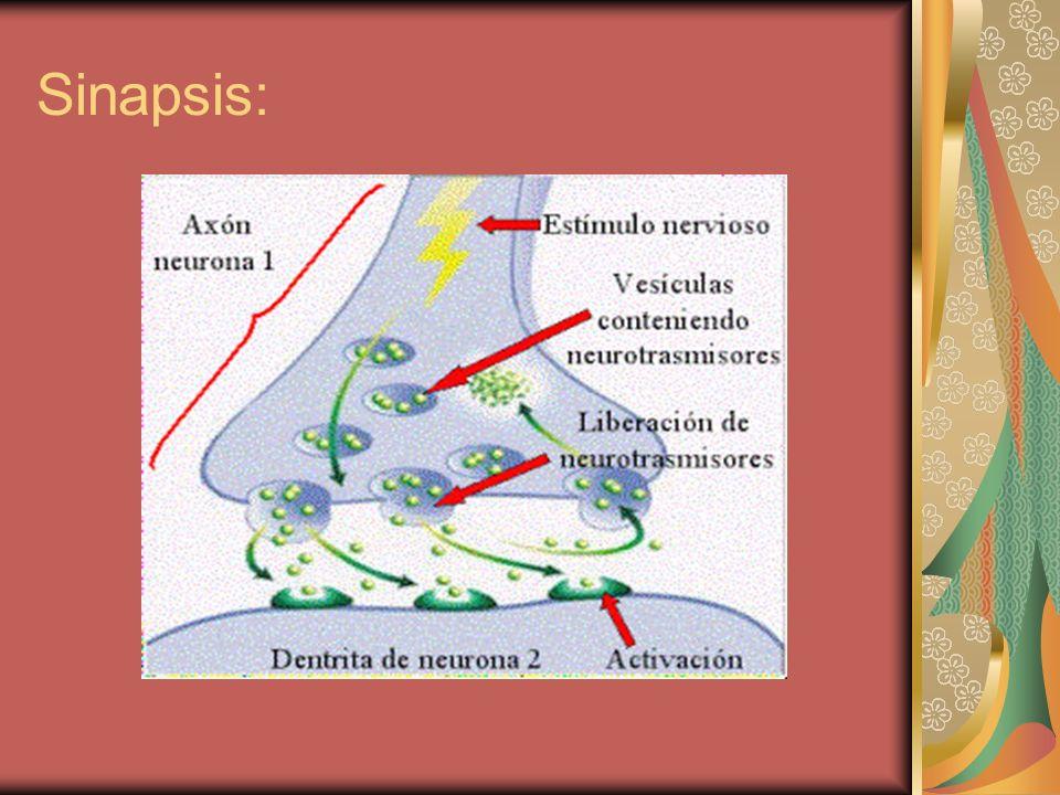 Sinapsis: