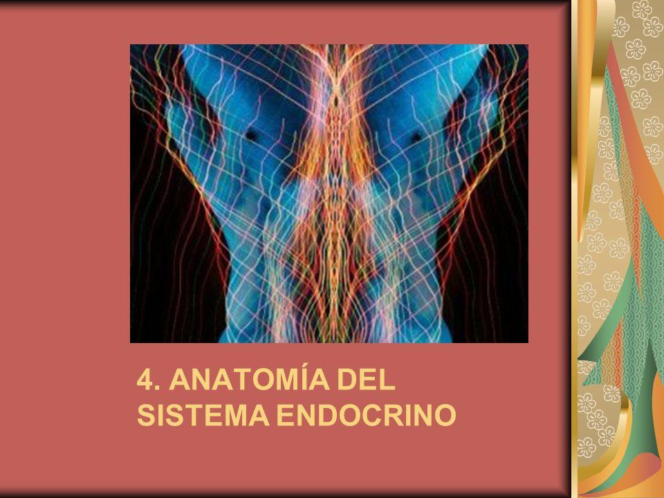 4. ANATOMÍA DEL SISTEMA ENDOCRINO