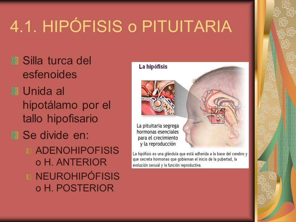 4.1. HIPÓFISIS o PITUITARIA