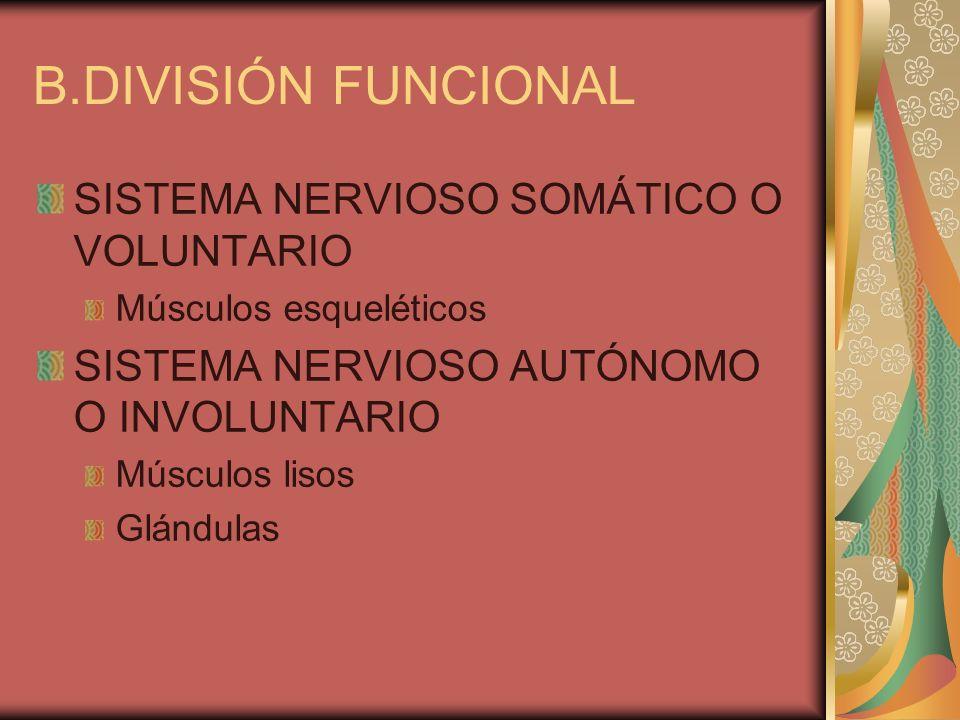 B.DIVISIÓN FUNCIONAL SISTEMA NERVIOSO SOMÁTICO O VOLUNTARIO