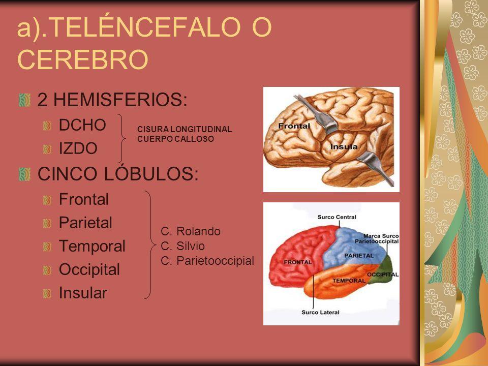 a).TELÉNCEFALO O CEREBRO