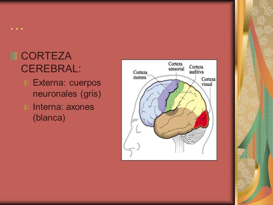 … CORTEZA CEREBRAL: Externa: cuerpos neuronales (gris)