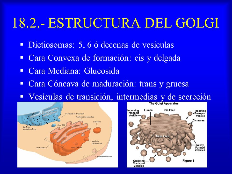 18.2.- ESTRUCTURA DEL GOLGI Dictiosomas: 5, 6 ó decenas de vesículas