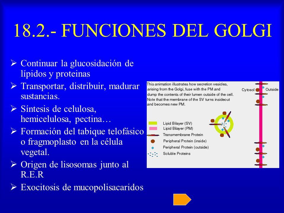 18.2.- FUNCIONES DEL GOLGI Continuar la glucosidación de lípidos y proteinas. Transportar, distribuir, madurar sustancias.