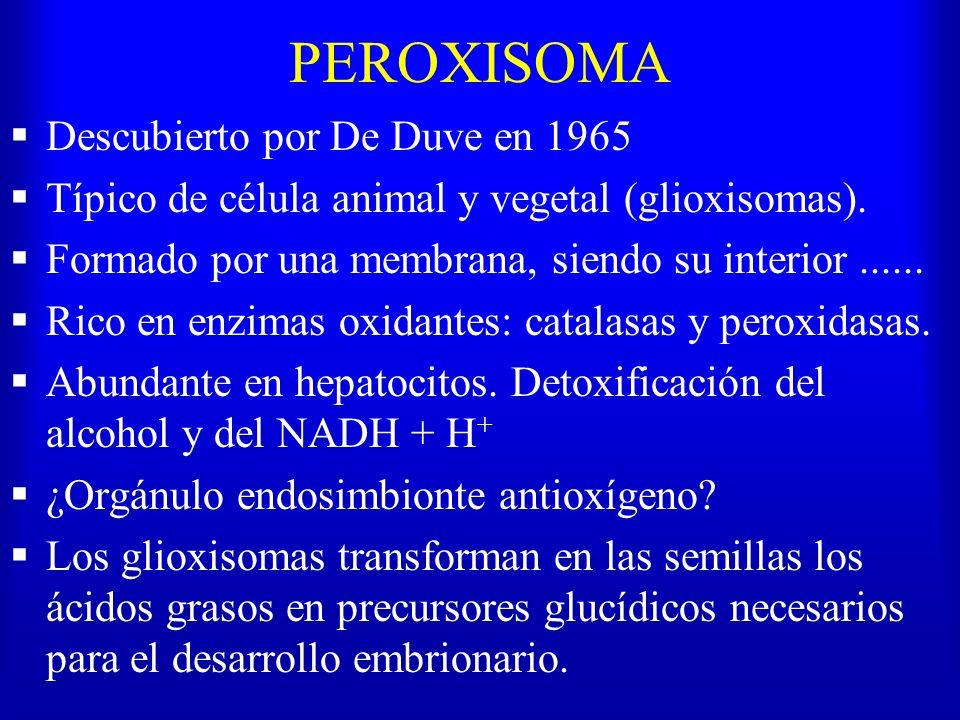 PEROXISOMA Descubierto por De Duve en 1965