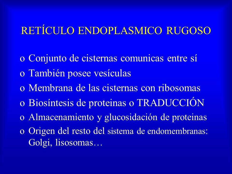 RETÍCULO ENDOPLASMICO RUGOSO