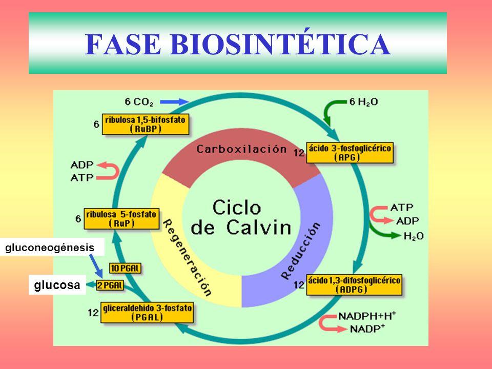 FASE BIOSINTÉTICA gluconeogénesis glucosa
