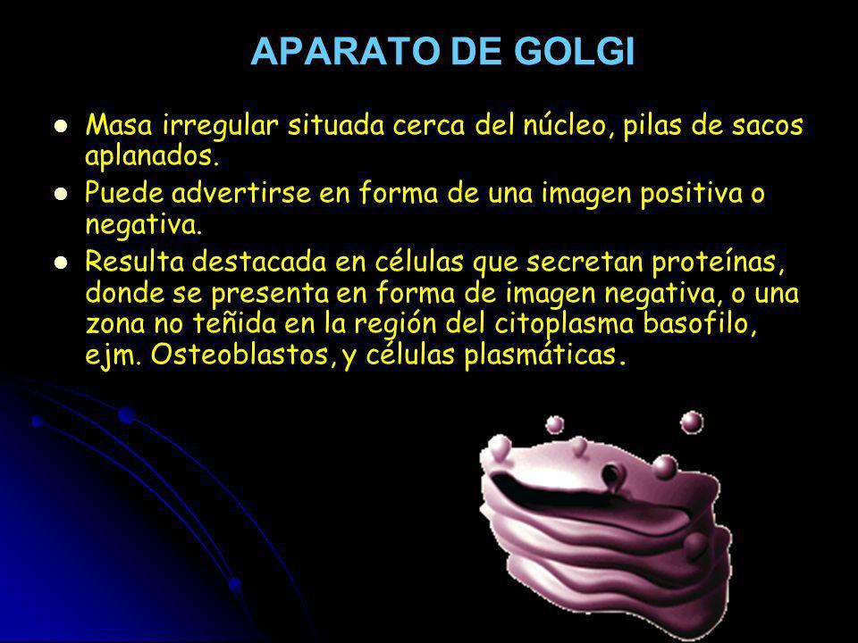 APARATO DE GOLGI Masa irregular situada cerca del núcleo, pilas de sacos aplanados. Puede advertirse en forma de una imagen positiva o negativa.