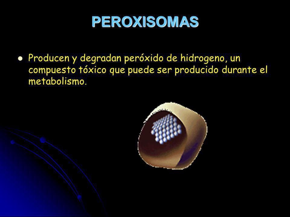 PEROXISOMASProducen y degradan peróxido de hidrogeno, un compuesto tóxico que puede ser producido durante el metabolismo.