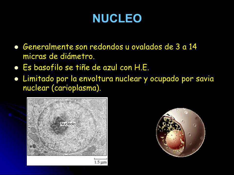 NUCLEO Generalmente son redondos u ovalados de 3 a 14 micras de diámetro. Es basofilo se tiñe de azul con H.E.
