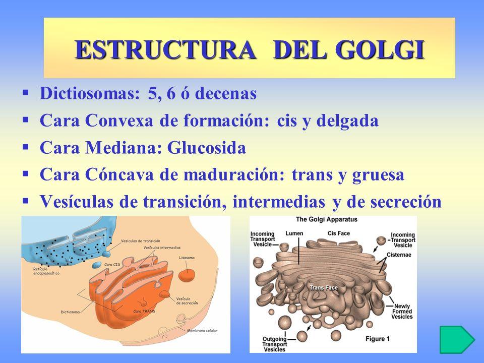 ESTRUCTURA DEL GOLGI Dictiosomas: 5, 6 ó decenas