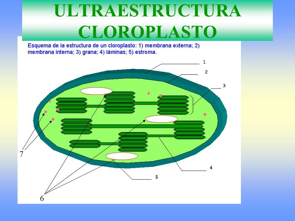 ULTRAESTRUCTURA CLOROPLASTO