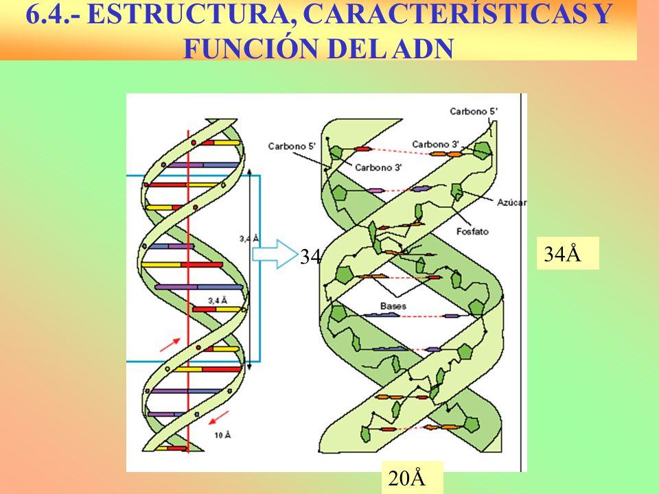 6.4.- ESTRUCTURA, CARACTERÍSTICAS Y FUNCIÓN DEL ADN