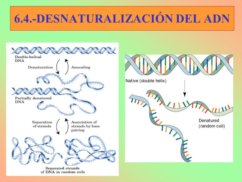 6.4.-DESNATURALIZACIÓN DEL ADN