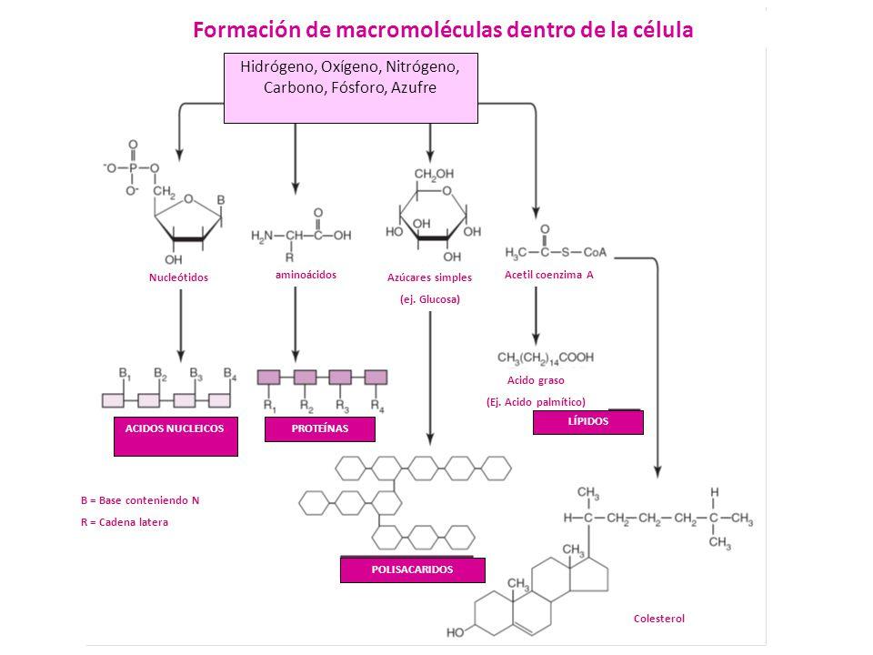 Formación de macromoléculas dentro de la célula